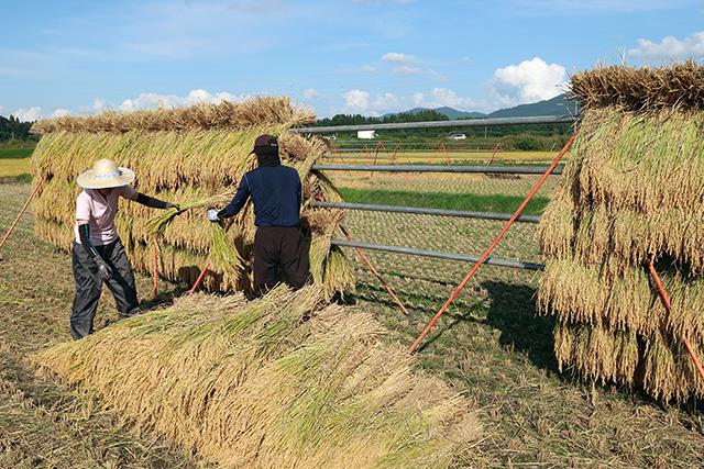 稲刈り、はさがけ(10月初め)
