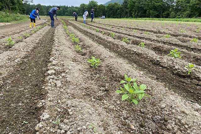 菊芋畑の草取り