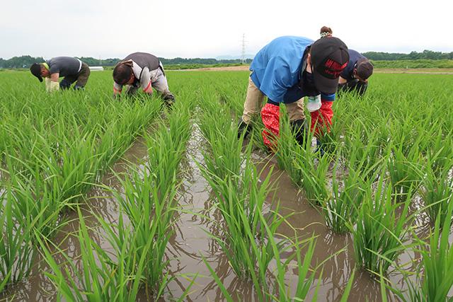水田の手取り除草