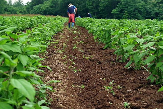 菊芋畑の草取り(2回目)